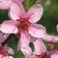 Blütenfest des Mosel Weinbergpfirsichs